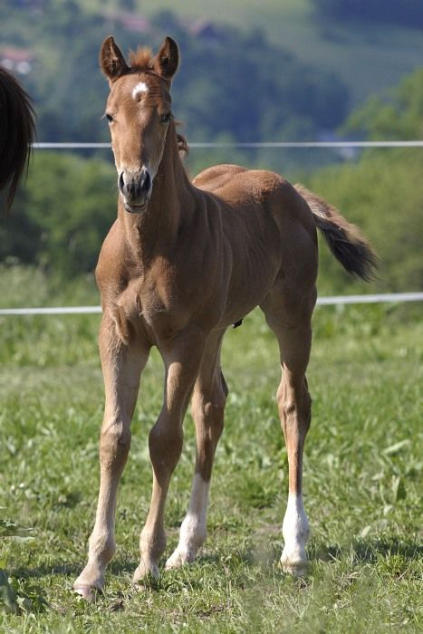 Quarter Horse foal | Silverstone Ranch