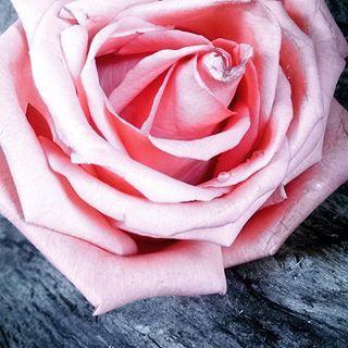 Una rosa muy linda..... #flores #venezuela #like #photography