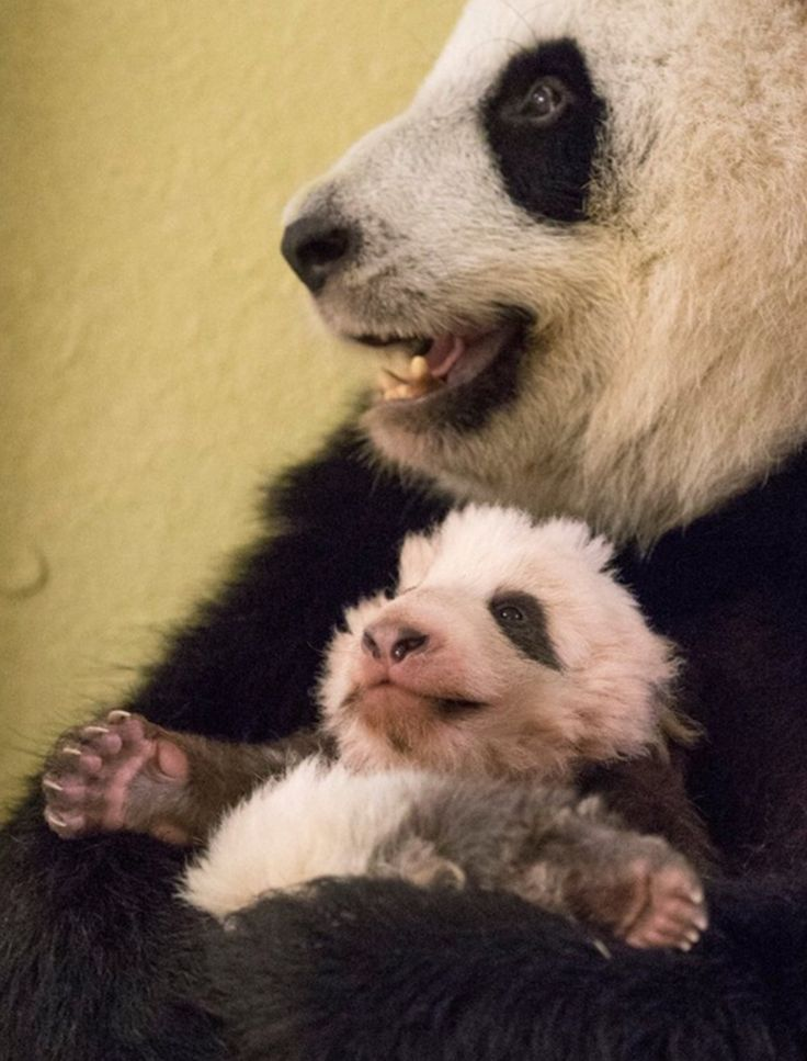THIS little panda bear is the BLAST! So what to look funny!