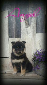 Pomsky Shepherd Maltese  mix Mix puppy for sale in DUNDEE, OH. ADN-36985 on PuppyFinder.com Gender: Female. Age: 7 Weeks Old