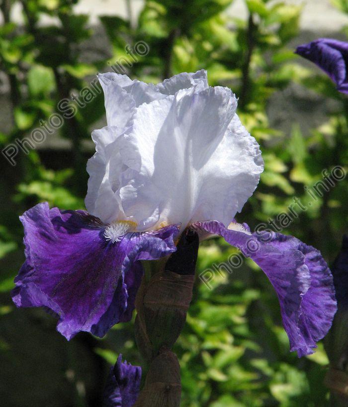 """Ирис Дрим Лавер (Dream Lover) был выведен Е. Тэмсом (E. Tams) в 1970 году. Название сорта можно перевести как """"любовник из снов"""". Ирис относится к высокорослым, в высоту стебель достигает более метра. Это двухцветный сорт. Дрим Лавер (Dream Lover) обладает светло-голубым (почти белым) куполом и тёмно-фиолетовыми нижними лепестками."""