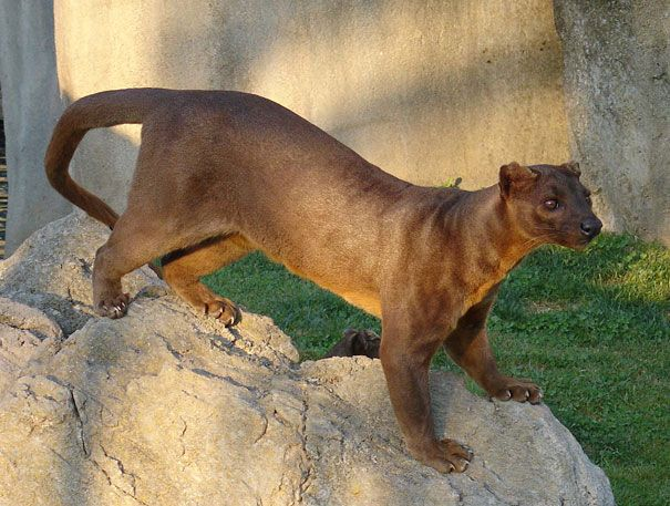 Fossa - Until recently scientists thought the fossa, with its feline features, was a primitive kind of cat. It's actually one of the largest members of the mongoose family.