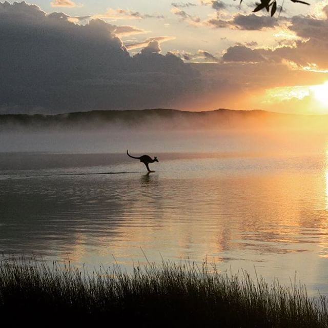 There's no mistaking this sunrise silhouette! This magical shot was captured during a camping trip at Elanda Point, Lake Cootharaba, where Kangaroos are regularly seen going for an early morning swim.