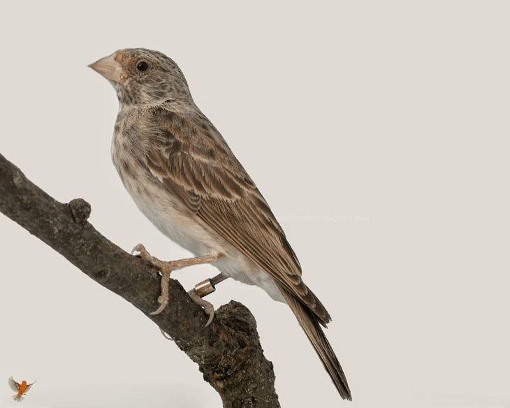 Inilah Perbedaan Burung Edel Sanger Jantan Dan Betina Betina Burung Jalak