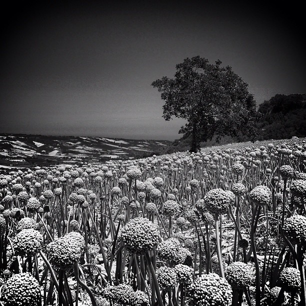 """@huub_w's photo: """"Onion field. #montefiore dell'Aso #bw_lover #contrast #italia #italy #webstagram #tagstagram #instabest #instagood #instagramers #instagrammers #iphonesia #iphoneonly #nature  #blancoynegro #blackandwhite #bestshotoftheday #lemarche #trees #skies #shotoftheday #picoftheday ##pixoftheday #igers #igersitaly #igersitalia #zwartwit #instadaily #instagramhub"""""""