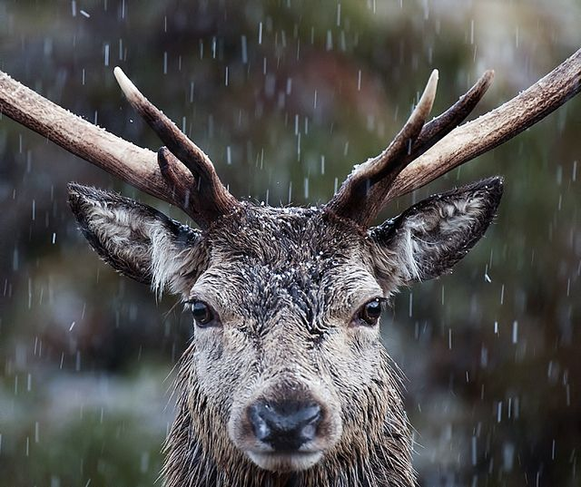 Red Deer Stag Close Up   Flickr - Photo Sharing!