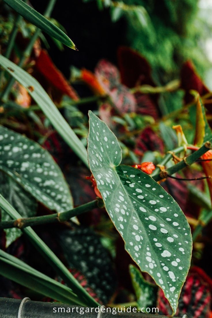 Begonia Maculata Care How To Grow Polka Dot Begonia With Images