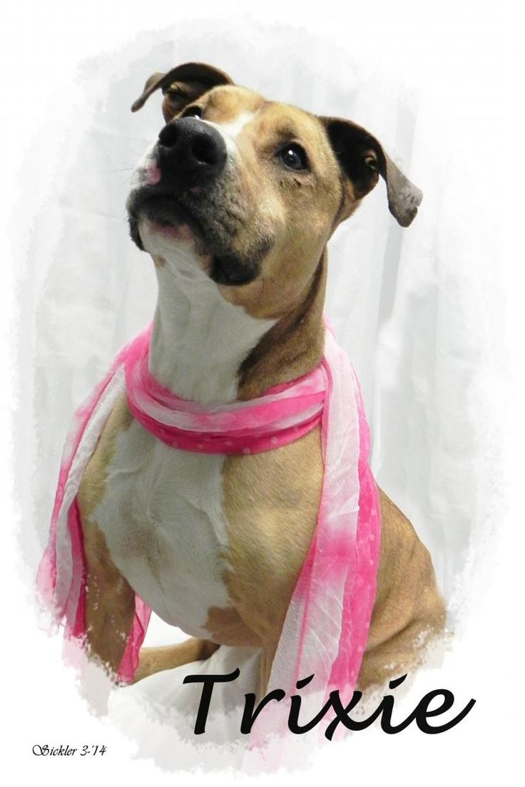***SUPER URGENT!!!*** - PLEASE SAVE TRIXIE!! - EU DATE: 8/15/2014 -- trixie  Breed: Pit Bull Terrier  Age: Senior Gender: Female  Size: Medium,  -  If you'd like more information, please email the shelter at ashelter@emporia-kansas.gov