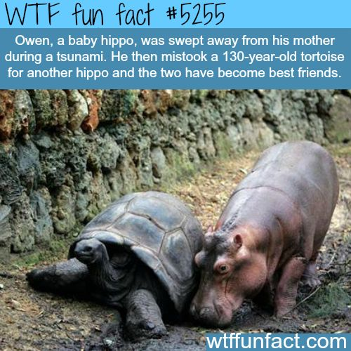 Baby hippo became friend with a tortoise - WTF weird & interesting fun facts