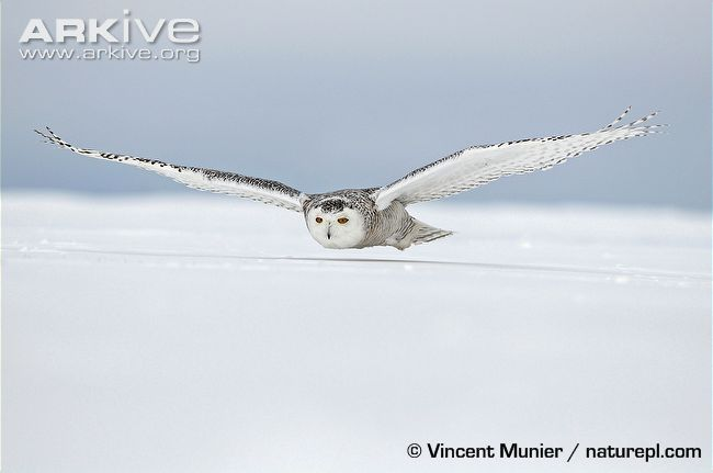 Female snowy owl flying low over the ground