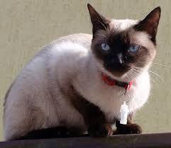 Znalezione obrazy dla zapytania koty syjamskie zdjecia