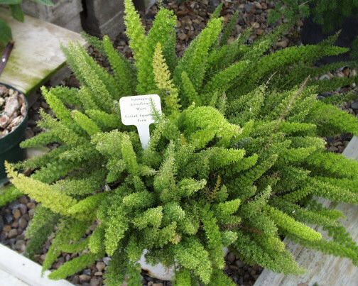 7 best images about plants on pinterest for Fern house plant seeds