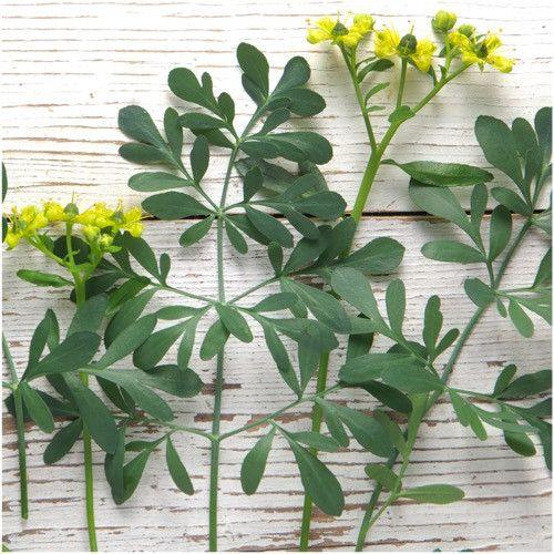 Rue Herb Seeds (Ruta graveolens)