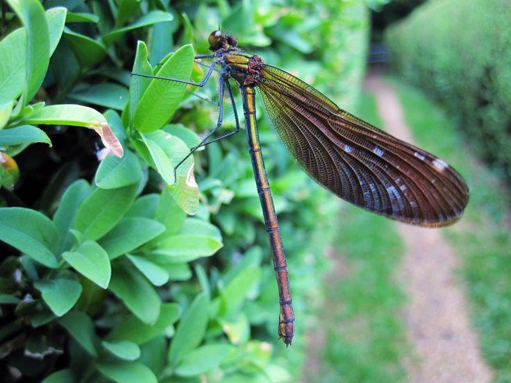 Libelle in Engeland