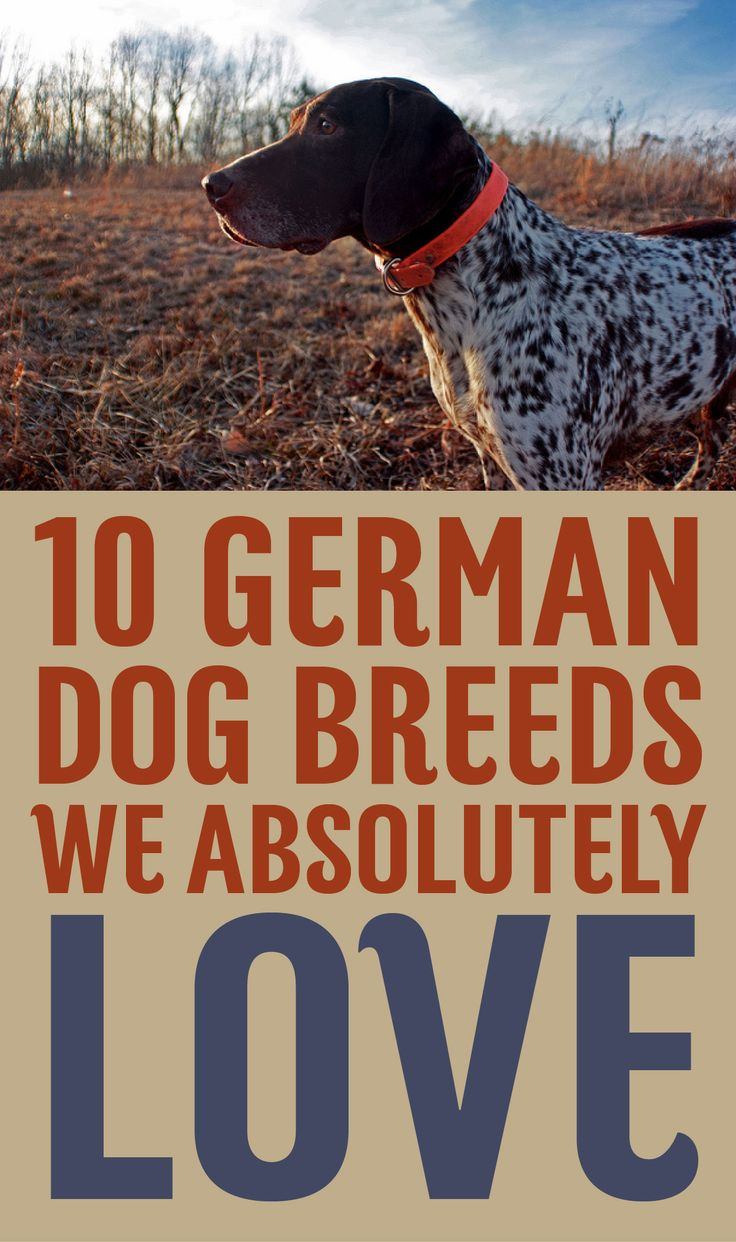 10 German Dog Breeds We ABSOLUTELY Love!