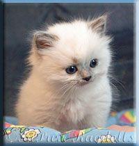Ragdoll Kittens for Sale | Supurr Ragdolls