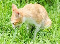 Why Do Cats Eat Grass?
