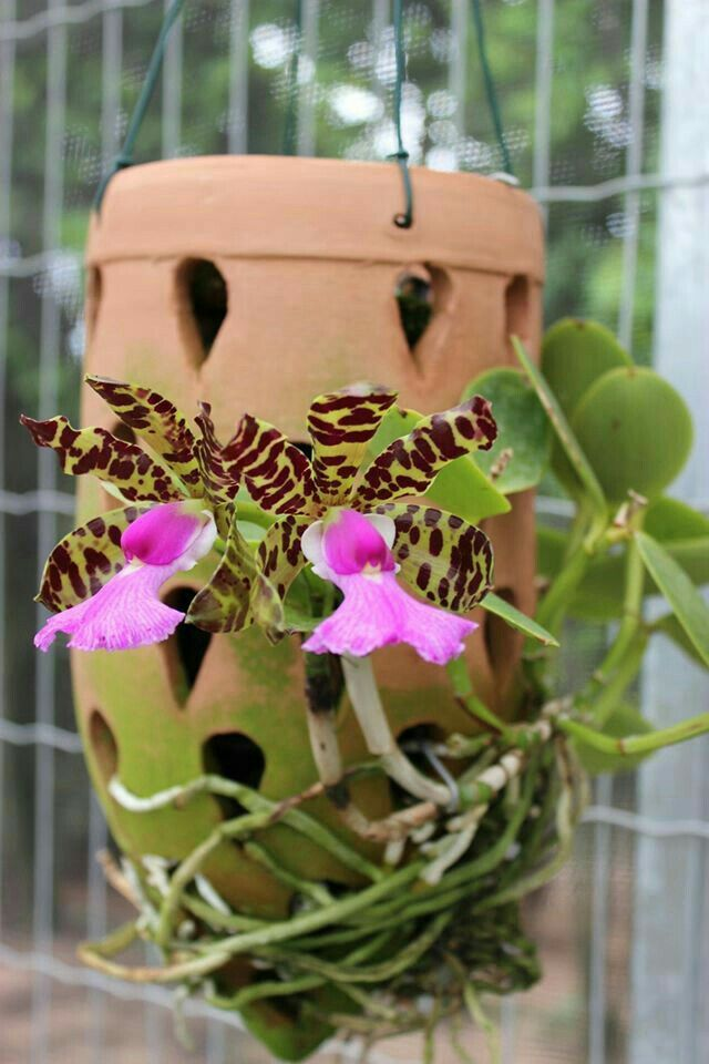 Pin By Fabio Vargas On Flores Hanging Orchid Rare Orchids Beautiful Orchids