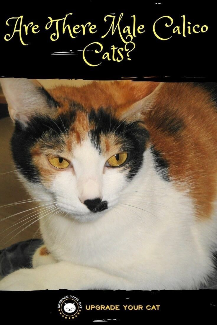 Are There Male Calico Cats Or Is It Just An Old Wives Tale That They Are All Females This Article Answers This Calico Cat Cat Behavior Calico Cat Personality