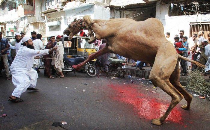 Pakistan Eid al Adha - Muslims and Animals