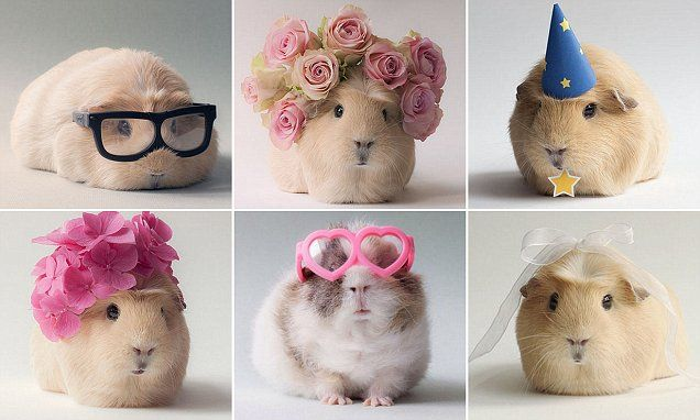 Guinea pig Booboo attracts thousands of Instagram followers