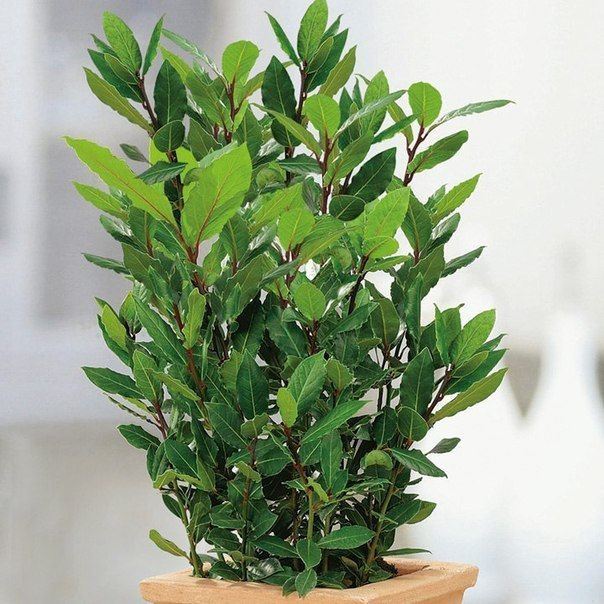 Небольшое дерево или кустарник (в комнатных условиях не более 0, 5— 1м), с кожистыми ланцетными цельнокрайными листьями. Цветки мелкие, белые или кремовые, расположены в пазухах листьев. Плод— черная с синим отливом несъедобная ягода диаметром 10-15 мм. Лавр— одно из древнейших растений планеты. Прекрасно растет в комнате.  Освещенность.Растение неприхотливое, легко приспосабливается к солнечным и затененным местам. Температура.Зимой 10— 1 4 °С. Но хорошо зимует и при более…