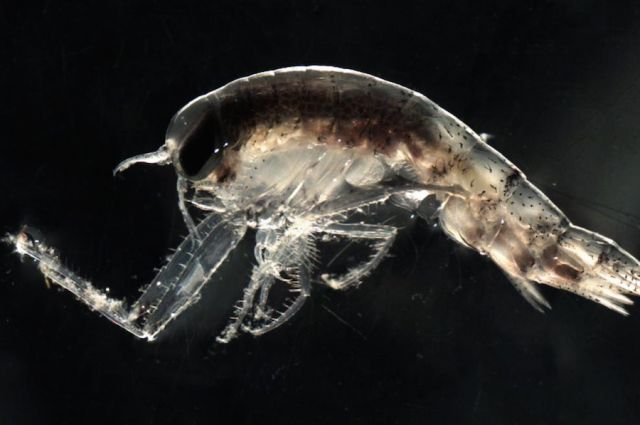 64 Best Zooplankton Images On Pinterest Microorganisms Navy Life