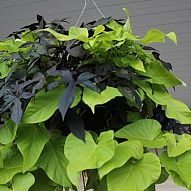 Easy Fall Hanging baskets that you plant in spring!