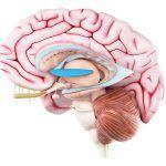El putamen es la porción más lateral del núcleo lenticular y compone, junto con el núcleo caudado, el neoestriado.