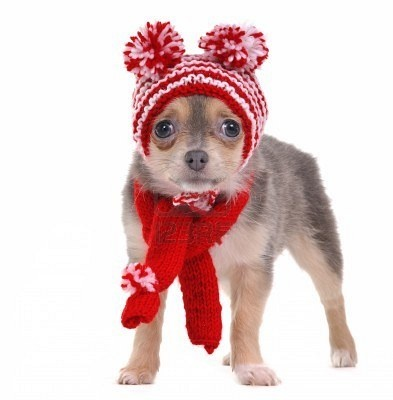 Chihuahua puppy with red and white striped hat with funny pompons
