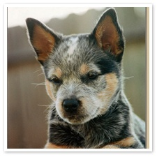 Australian Cattle Dog Puppy, JAMIE
