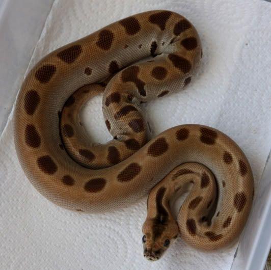 The Burmese Python Morph List - Reptile Forums   Animals ...