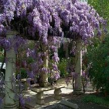 I have Japanese Wisteria growing on my white picket fence surrounding the back yard; cannot wait for it to establish.  What a beautiful way to create privacy.