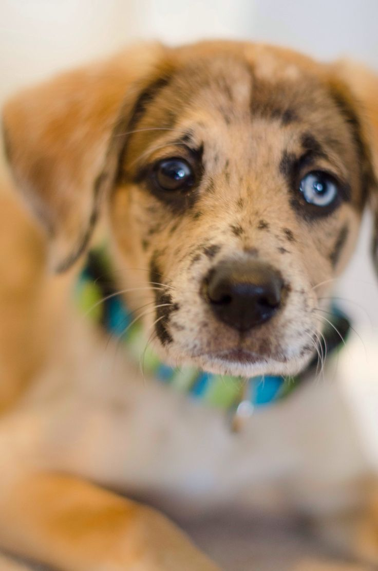 Catahoula Leopard Dog Cuteness Pinterest Awesome