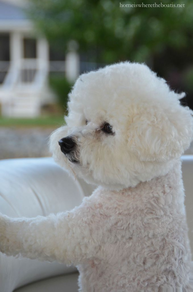 Chloe ready for boat ride | homeiswheretheboatis.net #LakeNorman #BichonFrise #NationalLoveYourPetDay