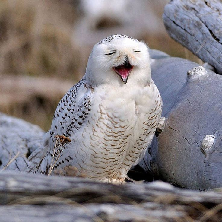 I know it is yawning, but I like to imagine it as singing in an opera. via @back0nature  #owl #humor