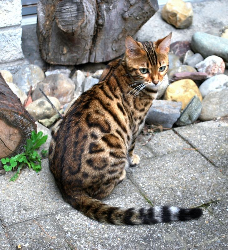 Bengal Met one like this at an adoption fair... His name