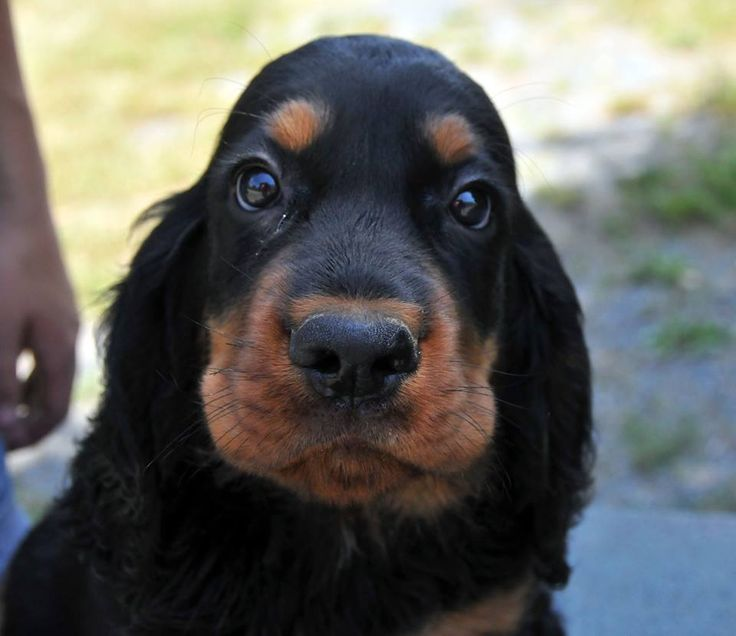 Yes, how may I help you???  Gordon setter