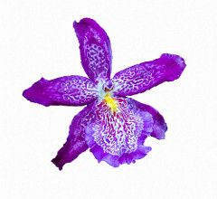 I love you as one loves certain obscure things (12bluros) Tags: floral flora flower orchid purple flores nature white