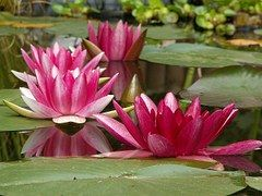 Aquatic Plant, Nature, Nuphar