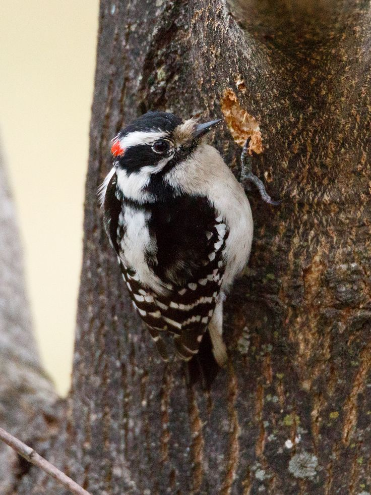 A downy woodpecker pecking away at the bark of this tree