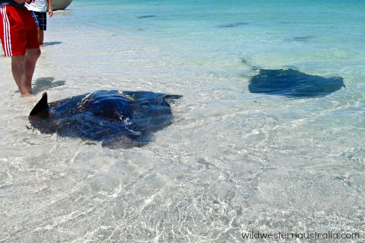 Sting rays swimming into shore at Hamelin Bay, Western Australia. They are hoping for a feed of fish!