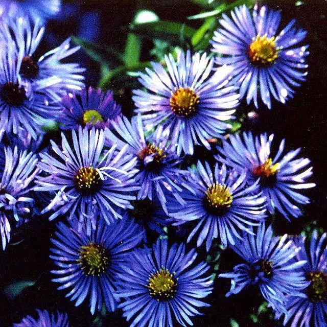 Blue Aster (Symphyotrichum ciliolatum)