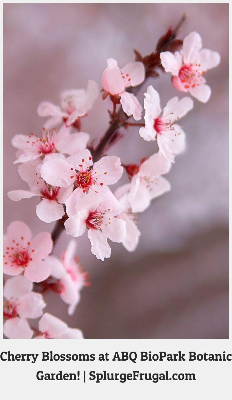 Cherry Blossom Tattoos 91906 Cherry Blossoms In Bloom At Abq Biopark Botanic Garden Splurgefrugal Com Pretty Flowers Botanical Gardens Fragrant Plant