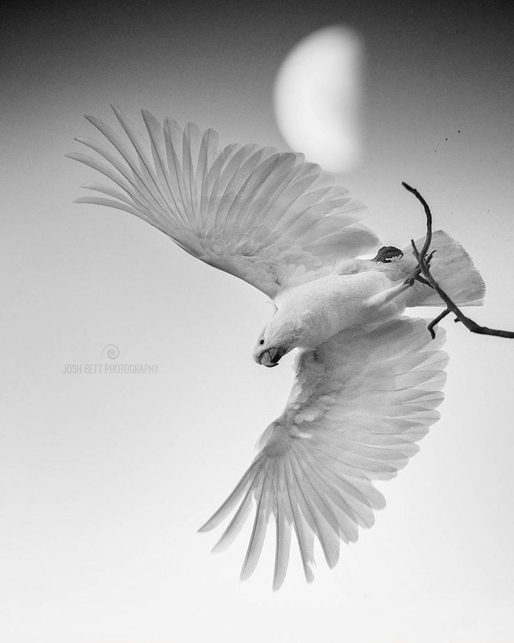"""Moonlit Cockatoo""  I generally don't use black & white in my wildlife photography, with the exception of the odd one that I feel is best for the image. In this instance it works best because it was shot just after the sun went down, the low light, fast shutter and zoomed focal length meant I had to use a high ISO and brighten more in post, resulting in a dull grainy image. However I liked many things about this capture; the composition, moon background, detail of the feathers and even finer…"