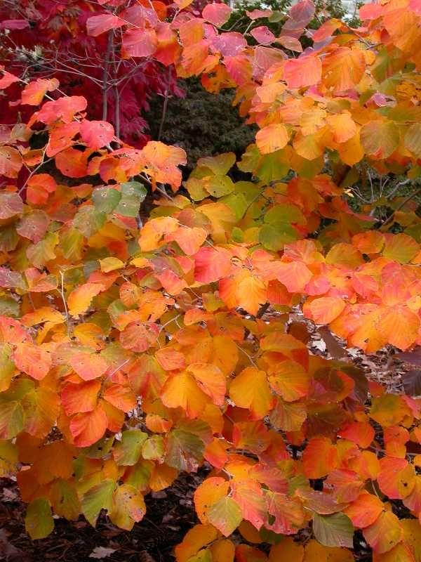 witch hazel in fall -- likes sun