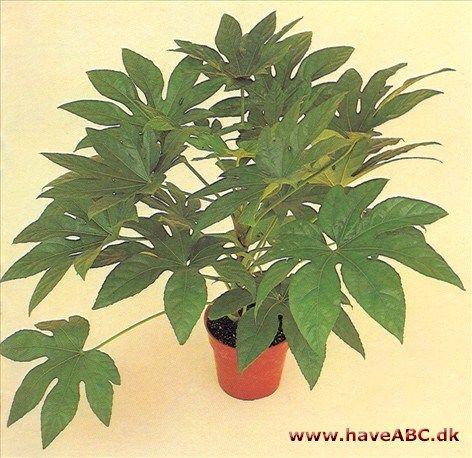 Aralia er en lille plantegruppe, som klarer sig godt i stuen. De hører til Araliaceae-familien, en slægt på nogle og tyve arter af planter fra Asien, Amerika og Australien ...