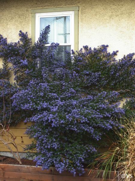 ceanothus  u0026 39 julia phelps u0026 39  california lilac --- there are a ton of types of california lilac