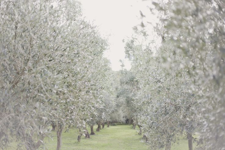 Olive grove in Wairarpapa