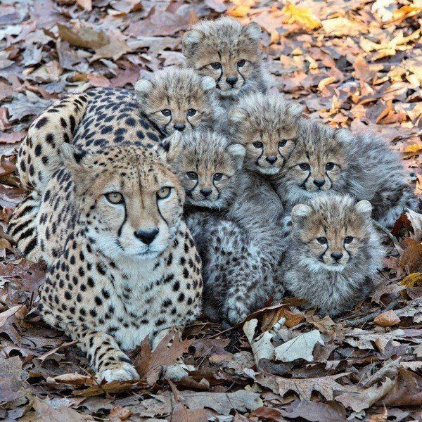 Large Cheetah Family. One of my favorite cats on this earth. – Katzen